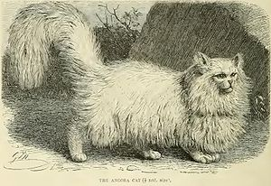 Persian cat - An Angora/Persian from The Royal Natural History (1894).