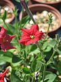Petunia excerta - Flickr - peganum (3).jpg