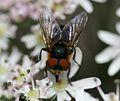 Phasia hemiptera (Shieldbug Fly) - female - Flickr - S. Rae (1).jpg
