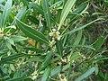 Phillyrea angustifolia 3.JPG