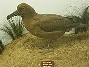 Phoebetria fusca -Naturhistorisches Museum Wien -4Feb2008.jpg