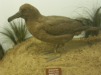 Sooty albatross - Stuffed specimen at the Natural History Museum, Vienna