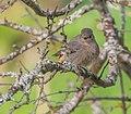 Phoenicurus ochruros female in Aveyron (1).jpg