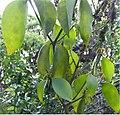 Phoradendron benslowii 1zz.jpg