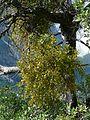 Phoradendron villosum 08254.JPG