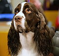 Photo of the Day Project 2016, Feb. 16- A Springer Spaniel at Westminster Dog Show (24987393171).jpg
