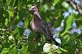 Picazuro Pigeon (Patagioenas picazuro) (8077518010).jpg