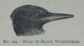 Picture Natural History - No 124 - Head of Black Woodpecker.png
