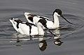 Pied Avocet, Recurvirostra avosetta at Marievale Nature Reserve, Gauteng, South Africa (20846372828).jpg