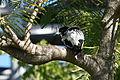 Pied Butcherbird preening Helensv.jpg