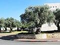 PikiWiki Israel 11219 Ancient olive trees.JPG
