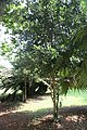Pimenta Racemosa - 01.jpg