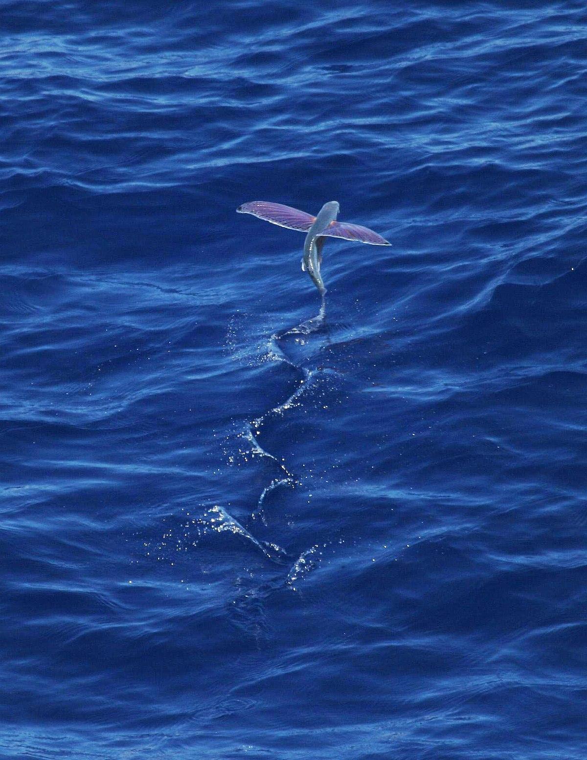 Pink-wing flying fish.jpg