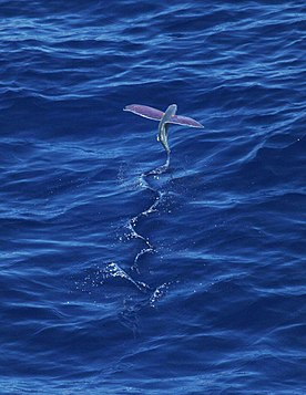 Flying Fish