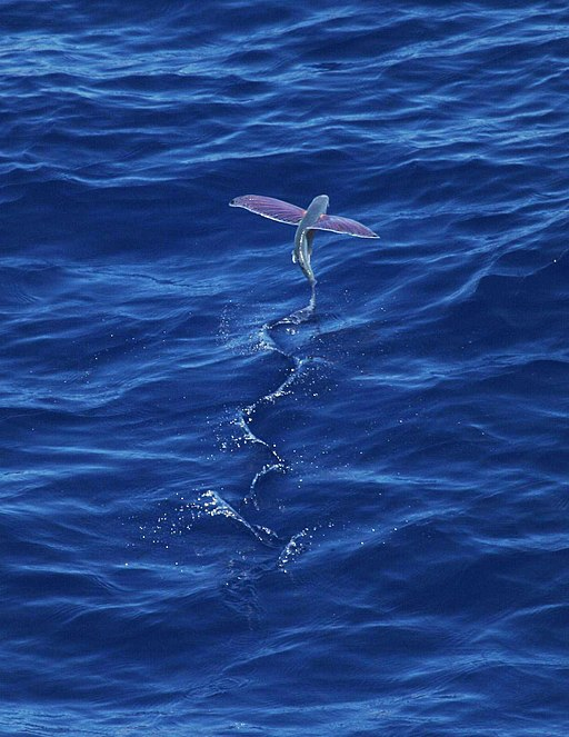 A Pink-wing flying fish launches into the air leaving a sinusoidal trail in the waves