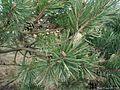 Pinus-silvestris.JPG