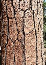 Pinus benthamiana 08552.JPG