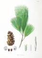 Pinus koraiensis Pinus parviflora SZ116.png
