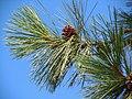 Pinus ponderosa var. ponderosa 002 — Matt Lavin.jpg
