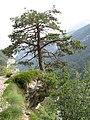Pinus sylvestris Molveno.jpg