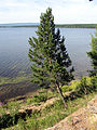 Pinus sylvestris mongolica Lake Arey 1.jpg