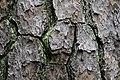 Pinus taeda CG 6 NBG LR.jpg
