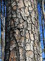 Pinus taeda loblolly pine bark.jpg