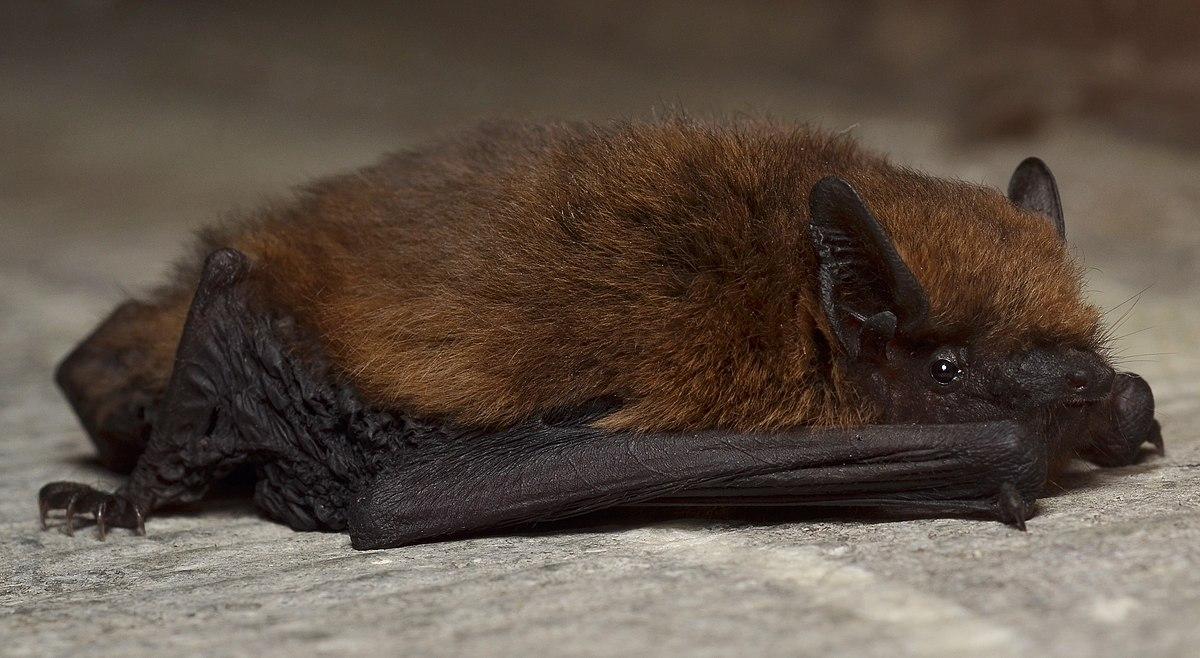 Pipistrelles