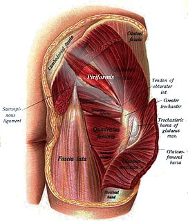 Piriformis muscle One of six small hip muscles in the lateral rotator group