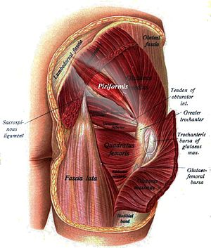 Piriformis muscle - Buttocks seen from behind (the piriformis and the rest of the lateral rotator group are visible)