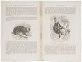 Pithecia leucocephala - 1700-1880 - Print - Iconographia Zoologica - Special Collections University of Amsterdam - UBA01 IZ20200243.tif