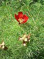 Piwonia wąskolistna Paeonia tenuifolia.jpg