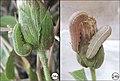 Plagiomimicus yakama mojave (10.3897-zookeys.788.26282) Figure 24.jpg