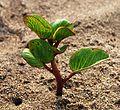 PlantChaparrales01.JPG