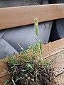 Plant wild wheat unknown grass 2020 02.jpg