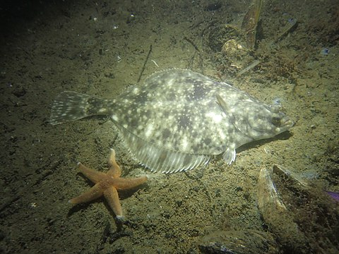Flounder not blending in as well as it might think
