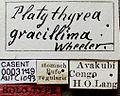 Platythyrea gracillima casent0003149 label 1.jpg