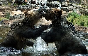 Grizzly Bears (Ursus arctos horribilis) are en...