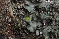 Pleurosticta acetabulum (40197268415).jpg