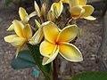 Plumeria Paul Weissich - plumeria alba (3595260654).jpg