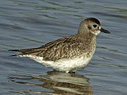 Adult Grey Plover, common winter visitor