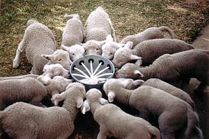 Glossary of sheep husbandry - Poddy lambs (orphaned lambs) drinking milk on a sheep station in rural Australia