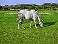 Podgaje, koń - panoramio.jpg