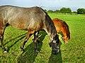 Podgaje, konie - panoramio (1).jpg