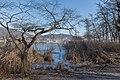 Poertschach Halbinselpromenade Uferzone mit Salix caprea und Schilfrohr 21012016 0255.jpg
