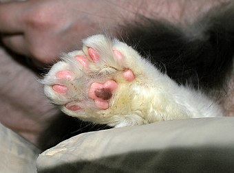 Cat Paw Infection White