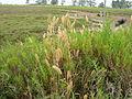 Polypogon monspeliensis habit4 (7405404360).jpg