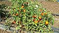 Pomodoro varietà Fiaschello Battipagliese.jpg