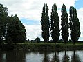 Poplar trees next to the Wye - geograph.org.uk - 1419331.jpg