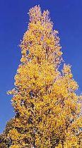 Poplartree.jpg